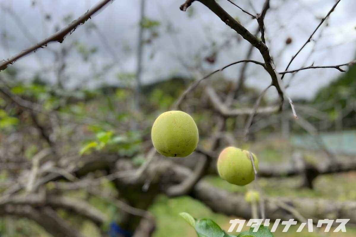 久万高原町のリンゴ
